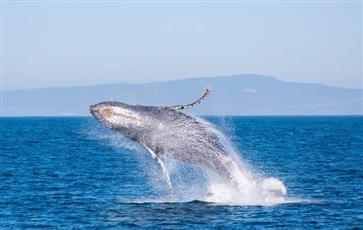 الحيتان تؤلف الأغاني لجذب الإناث