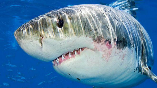 علاج السرطان قد يأتي من القرش الأبيض