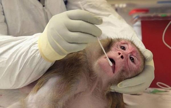 تايلاند تبدأ تجارب على لقاح مضاد لكورونا على القردة